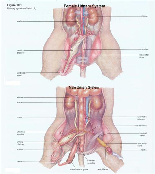 Fetal pig urinary bladder diagram